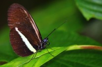 Mariposa Gol